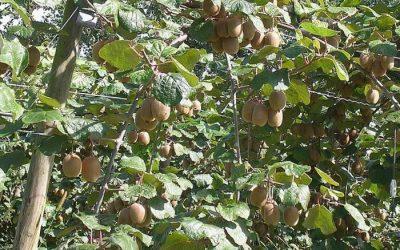Informations utiles à la plantation et l'entretien de l'arbre à Kiwi