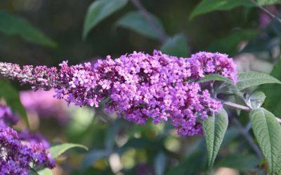 L'essentiel à savoir pour planter un arbre à papillon dans son jardin